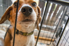 adorable-animal-beagle-1031466